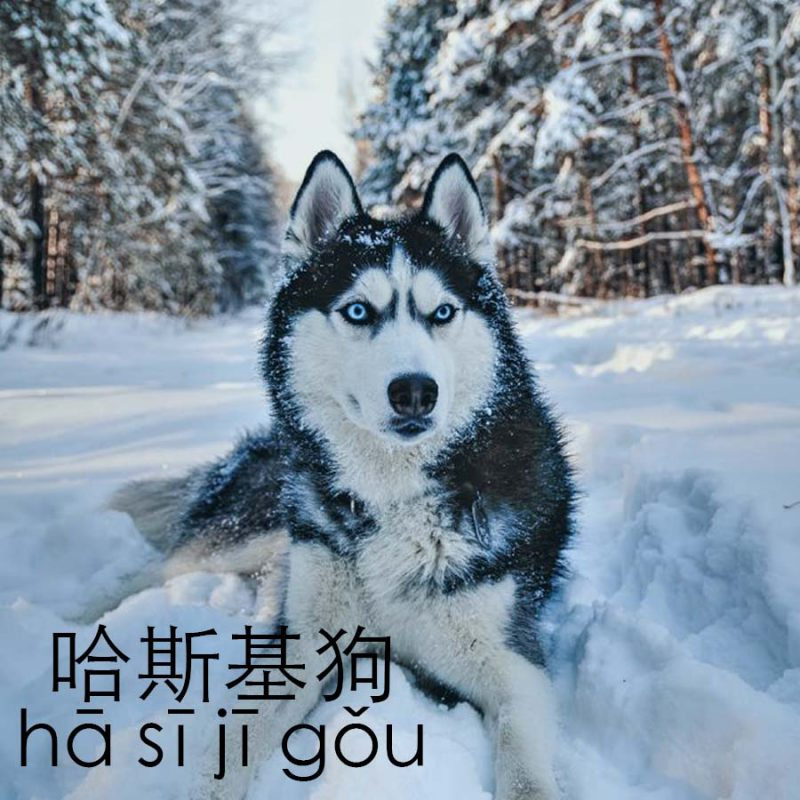 Husky in Mandarin