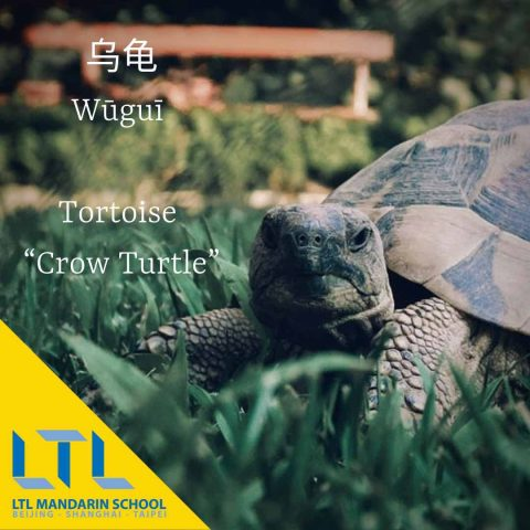 Tortoise in chinese