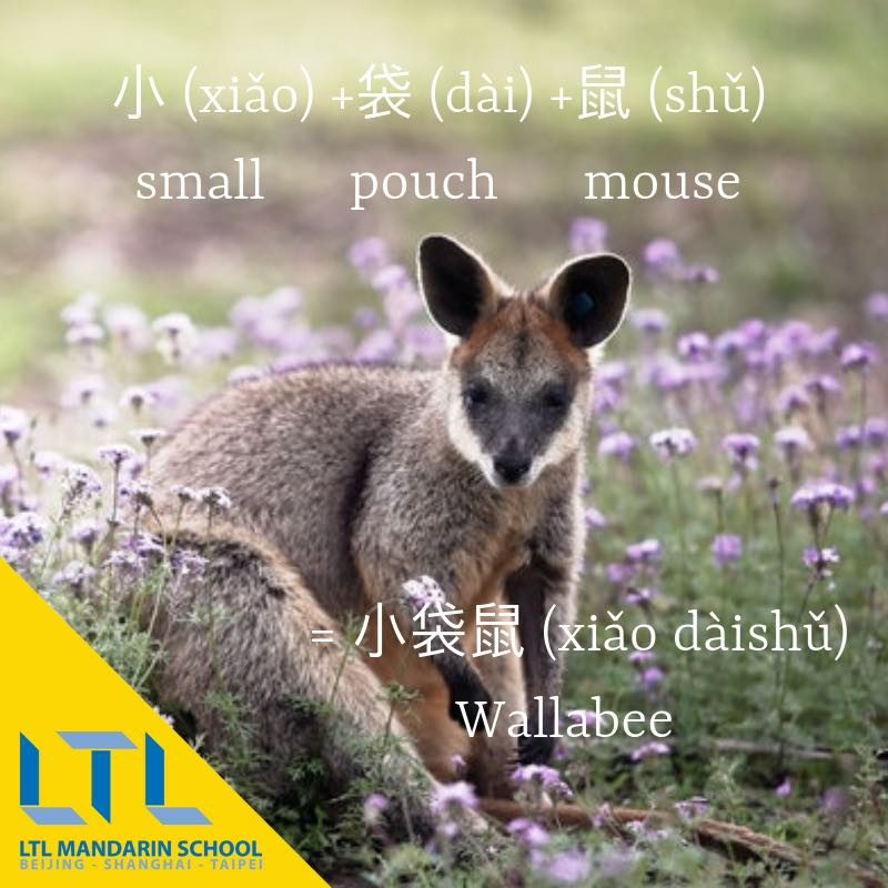 Wallaby in chinese