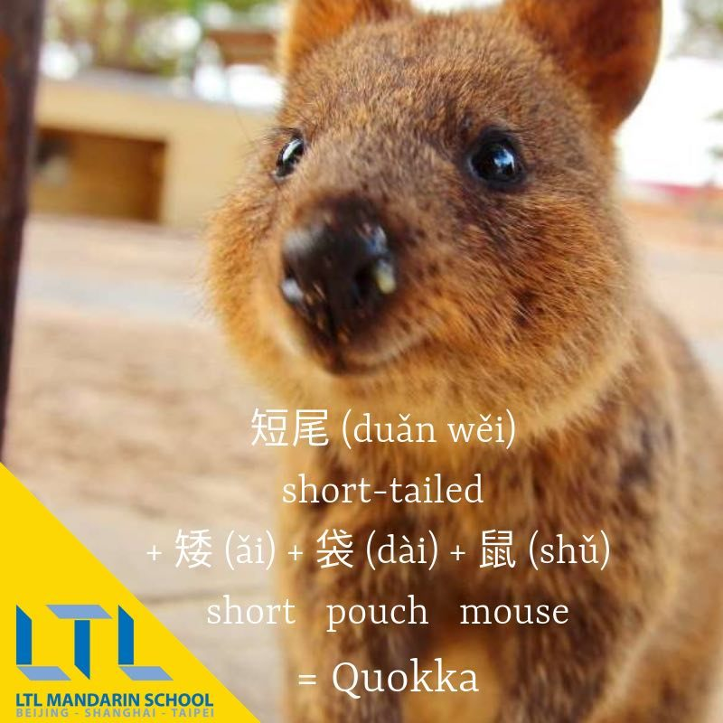 quokka in chinese
