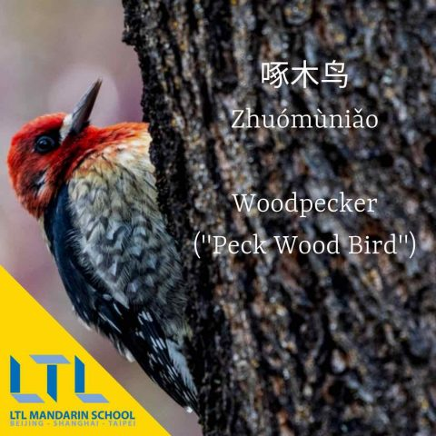 Woodpecker in Chinese